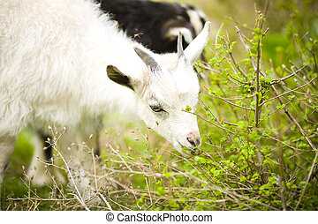 young goat grazes in a meadow.