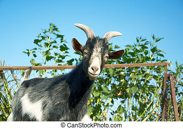 A young goat