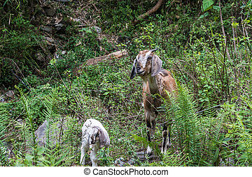 A young goat with a lamb in green thickets. - Young goat...
