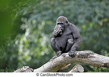 A young gorilla is sitting on a tree branch