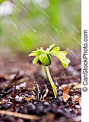 A young green plant with water on it growing out of brown soil.