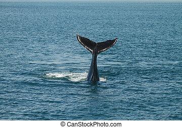 A young Humpback Whale (Megaptera novaeangliae) Waves its...