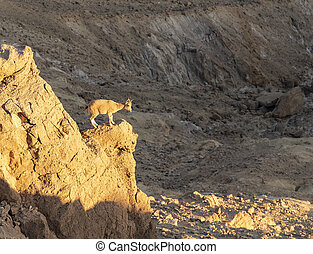 A Young Ibex Soaking in the Last Rays of the Setting Sun
