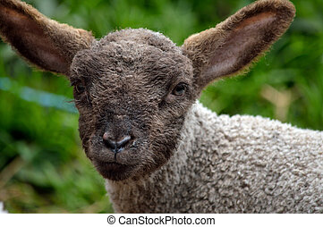A Young Lamb in the Field