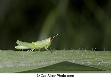 young larva grasshopper - A young larva grasshopper is on...
