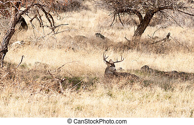 A Young Male Deer Buck Lays in the Shade