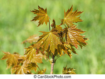 A young maple tree in the spring.