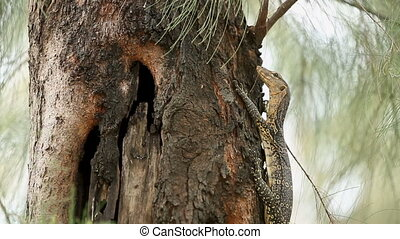A young monitor lizard sitting on the tree in Lumpini park....