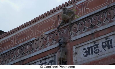 A young monkey climbs up a drain pipe. - A small rhesus...