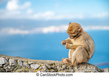 a young monkey sitting on the edge of a cliff on the seashore. Macaca sylvanus