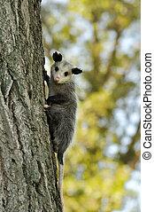 opossum - a young opossum climbing on a tree