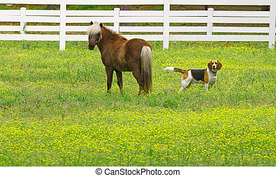 A young Palomino gelding in a buttercup field with Blue the Hound dog with room for your text.