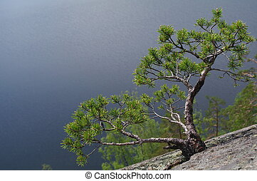 a young pine on the top of a cliff