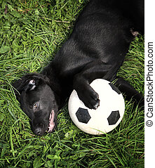 A young playful black labrador retriever playing with a football in the outdoor grass