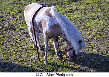 A young pony grazes in the meadow close-up.