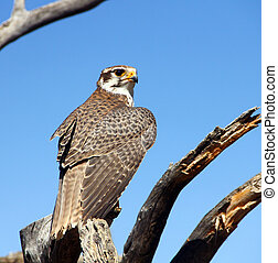 Prairie falcon - A young Prairie falcon on its perch