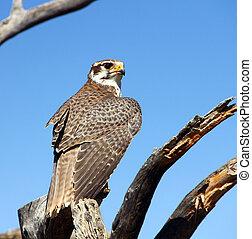 Prairie falcon - A young Prairie falcon on its perch