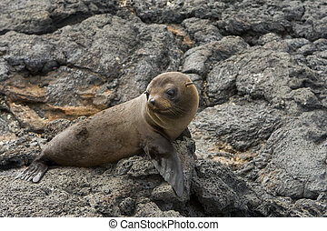 Sea lion in the Galapagos Islands - A young Sea lion in the...