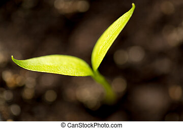 A young sprout of pepper in the ground
