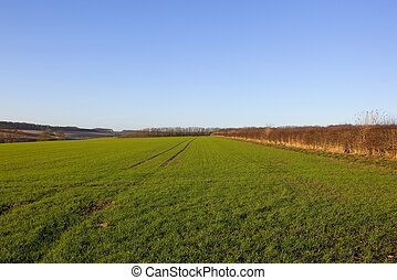 winter wheat - a young winter wheat crop with trees and ...