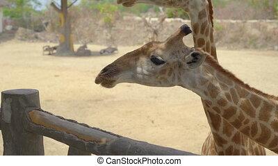 A young woman feeds giraffes in a safari park.