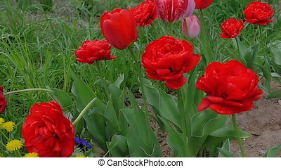 A young woman is sniffing flowers. Beautiful, red tulips blossom in the garden