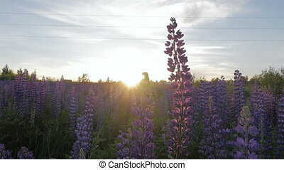 A young woman is walking along the field with flowers. Beautiful sunset. Slow motion