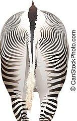 A zebra - A backview of a zebra on a white background