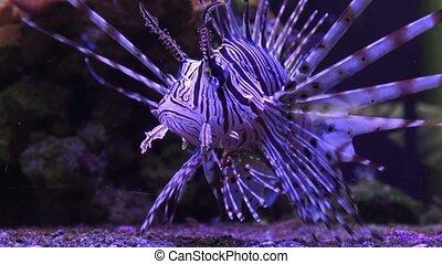 A Zebra-winged, or a Zebra-fish, or a striped winged...