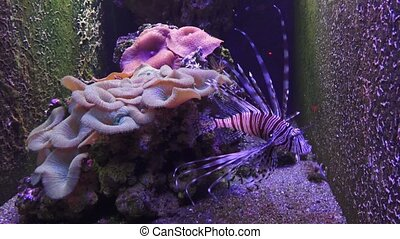 A Zebra-winged, or a Zebra-fish, or a striped winged...