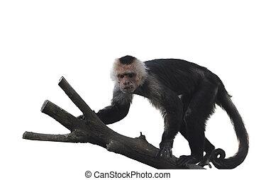 aangedurfde, capuchin, witte , aap, achtergrond