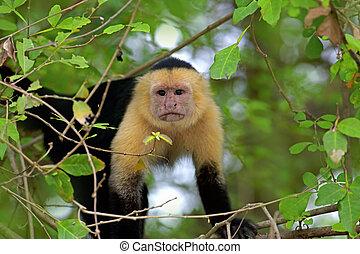 aangedurfde, capuchin, witte