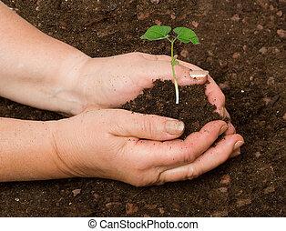 aanplant, boon, plant