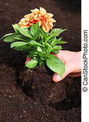 aanplant, dahlia, kiemplant