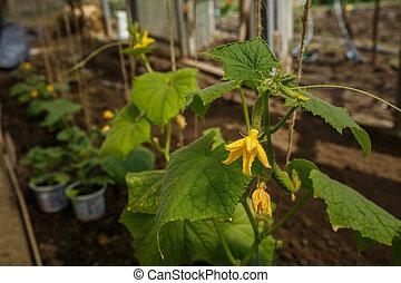 aanplant, groene, jonge, komkommers, broeikas