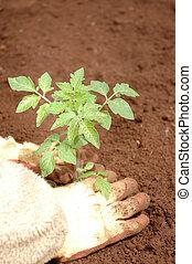 aanplant, kiemplant