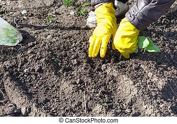 aanplant, kool, farmer, seedlings