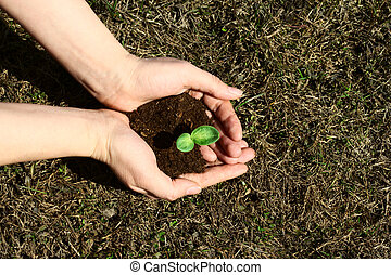 aanplant, sapling