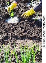 aanplant, terrein, farmer, nat, seedlings, kool
