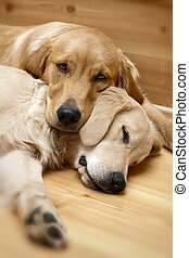 aanzicht, honden, het liggen, twee