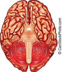 aanzicht, onderkant, hersenen, vector, menselijk