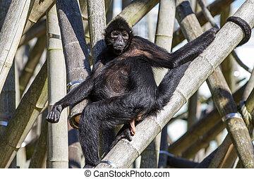 aap, aap, zwarte-aangevoerde, spin, ateles, fusciceps, soort