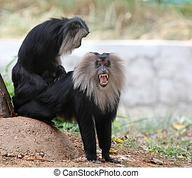 aap, endemic, bedreigde, gebrengenene in gevaar, -, india, ...