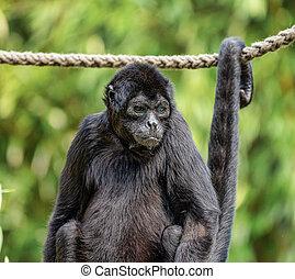 aap, soort, fusciceps, ateles, spin aap, zwarte-aangevoerde