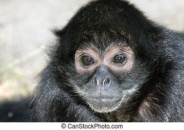 aap, spin, zwarte-aangevoerde