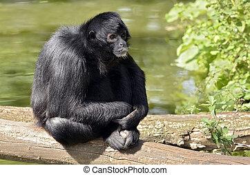 aap, spin, zwarte-aangevoerde, zittende