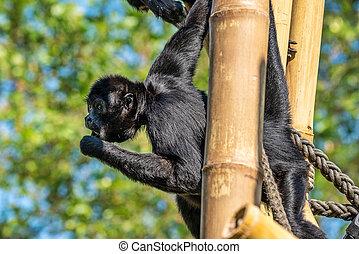 aap, zwarte-aangevoerde, ateles, soort, aap, spin, fusciceps