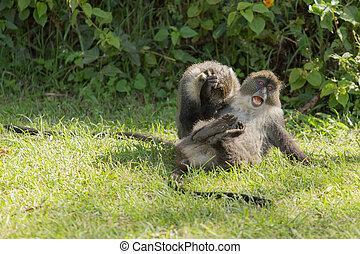 aapjes, vecht
