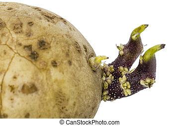 aardappels, vrijstaand, achtergrond, spruiten, witte , close-up