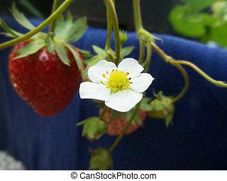 aardbei, bloem